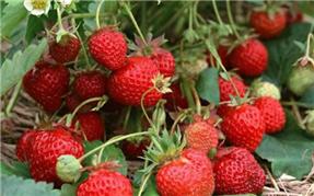 西彭镇草莓采摘基地