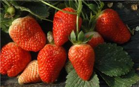 白市驿草莓采摘基地