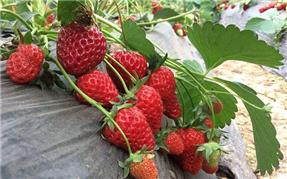 九龙坡区草莓采摘基地
