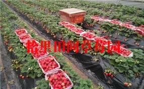 农家乐草莓采摘
