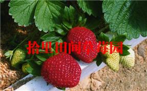 黑美人草莓采摘