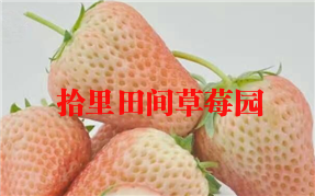 小白草莓采摘