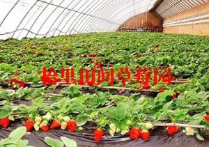 大学城草莓采摘