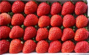 巧克力草莓采摘